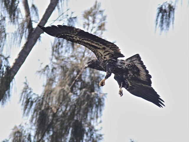 Bald Eaglet landing1 20140426