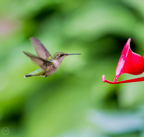 First hummingbird of the year