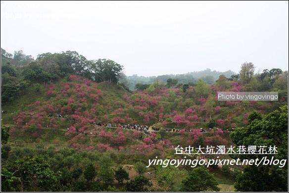 台中市北屯_大坑濁水巷櫻花林20120225_I2748