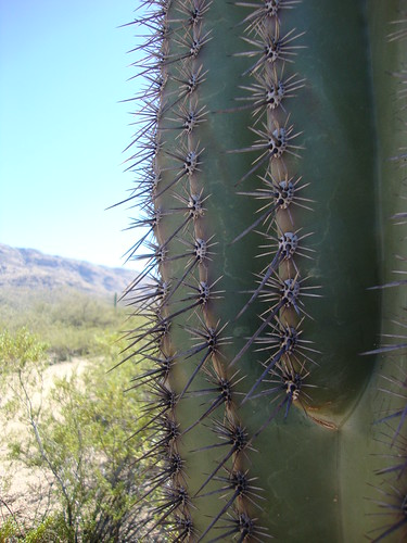 detail of cactus spines, Saguaro National Park East, Loma Verde Loop