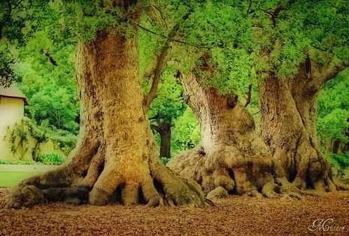 trees historic orton westerncape somersetwest coth nikond60 itsawonderfulworld cinnamomumcamphora southafricanhistory saariysqualitypictures willemadriaanvanderstel vergelegenestate greenbeautyforlife