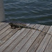 Iguana on the dock next to where we ate lunch...