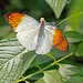 Orange tip butterfly 6_edited-1