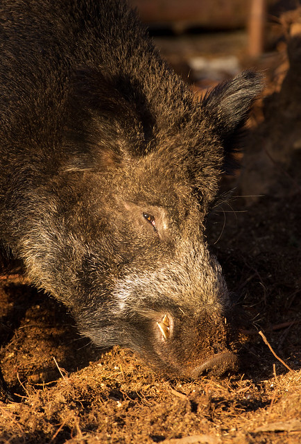 wild boar close up 3