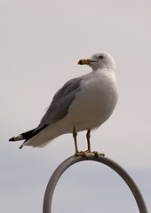 Sea Gull Perch