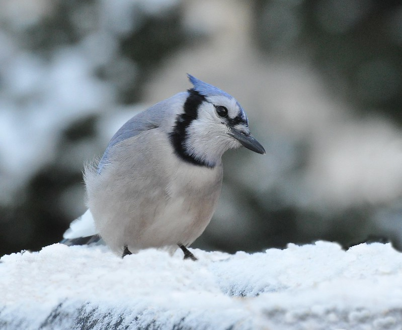 Blue Jay on Snow
