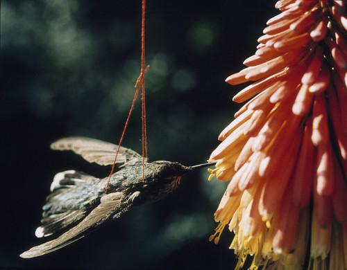 Carol Selter, December, The Hummingbird