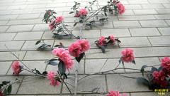 Camellia 'Francie L'