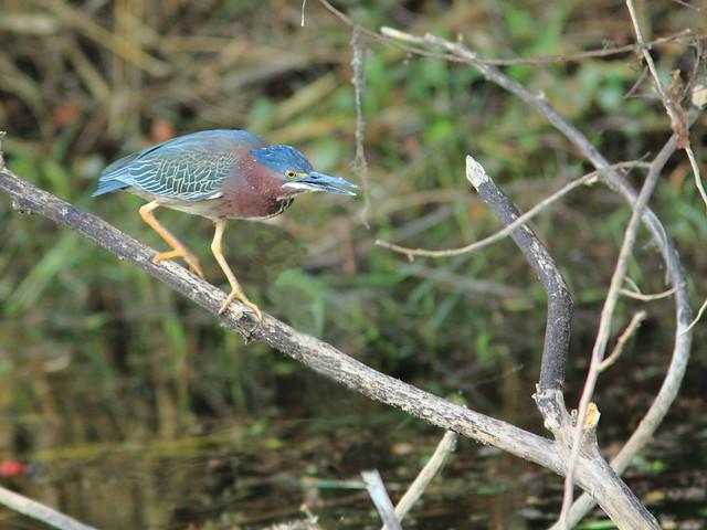 Green Heron 2-20120306