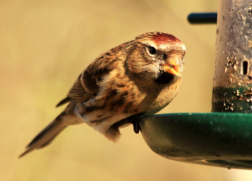 Lesser Red Poll 4948