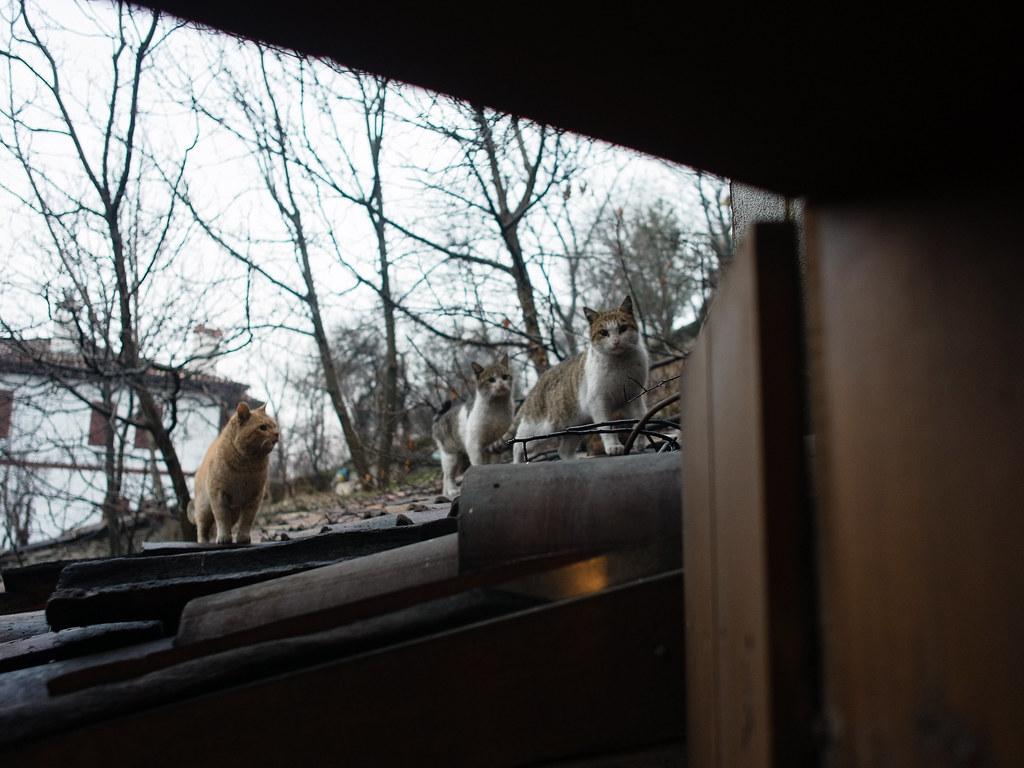 貓群想要跳進房間來