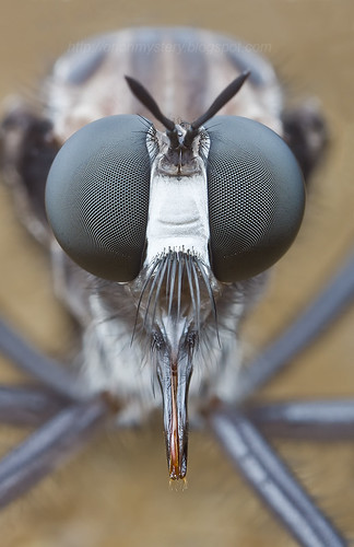 Giant robber fly with blue wings IMG_2748 copy