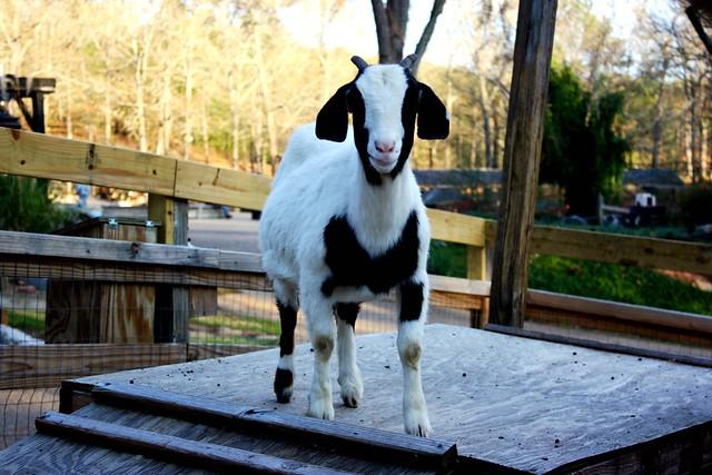 Curios Goat
