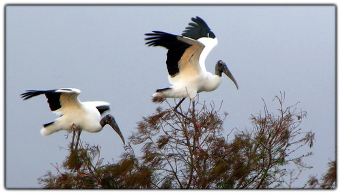 Wood Stork -- Tree Walkers