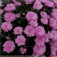 Chrysanthemum 'Remos Pink' - Chryzantema 'Remos Pink'  kwiaty
