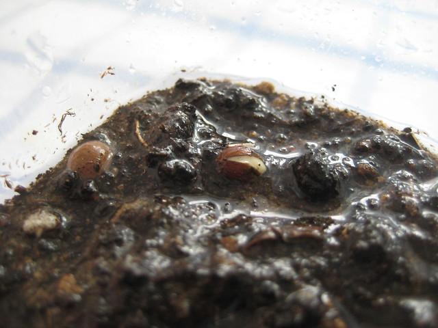Семена бересклета бородавчатого прорастают