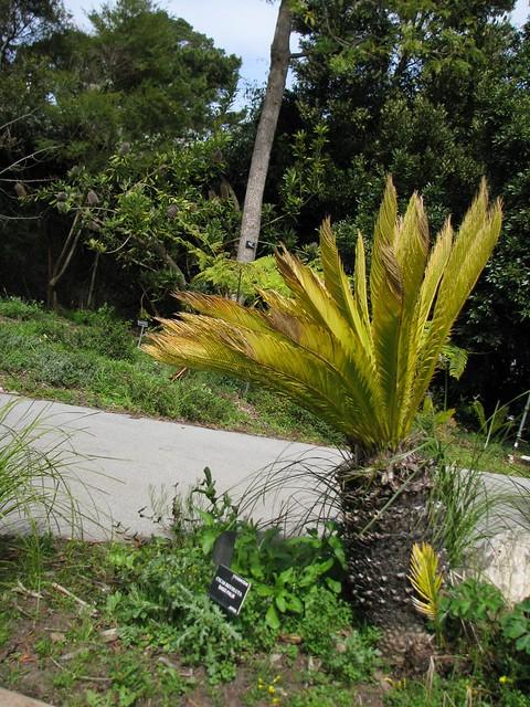 Prehistoric Garden, Cycad