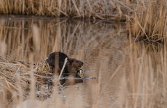 Beaver Eating-0148.jpg by Mully410 * Images
