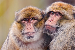 [フリー画像素材] 動物 1, 猿・サル, バーバリーマカク ID:201202141000