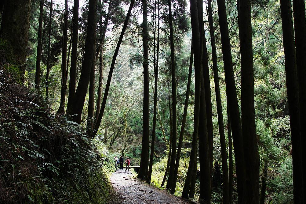 觀霧巨木步道-039