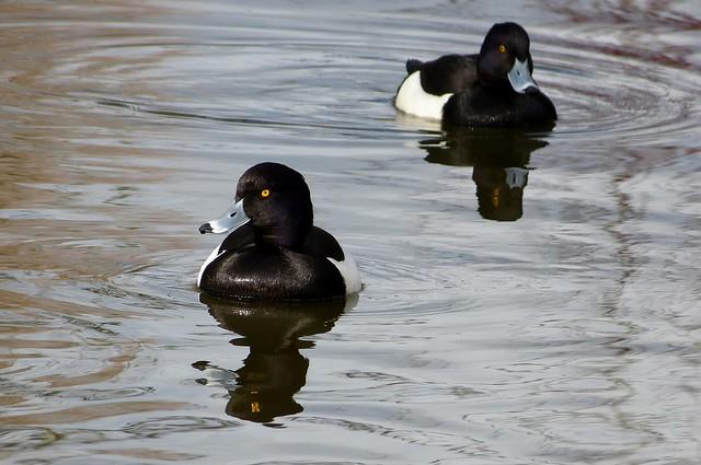25751 - Tufted Duck, WWT Llanelli