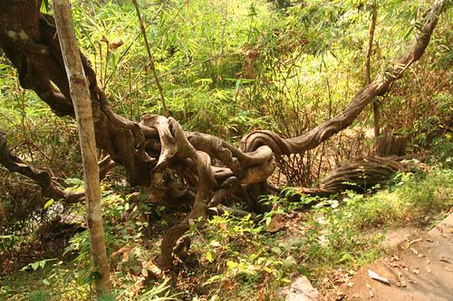 a twisty vine