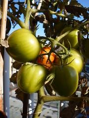 tomates pera madurando