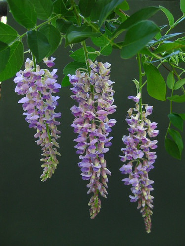 Wisteria sinensis - Chinese Wisteria flowers