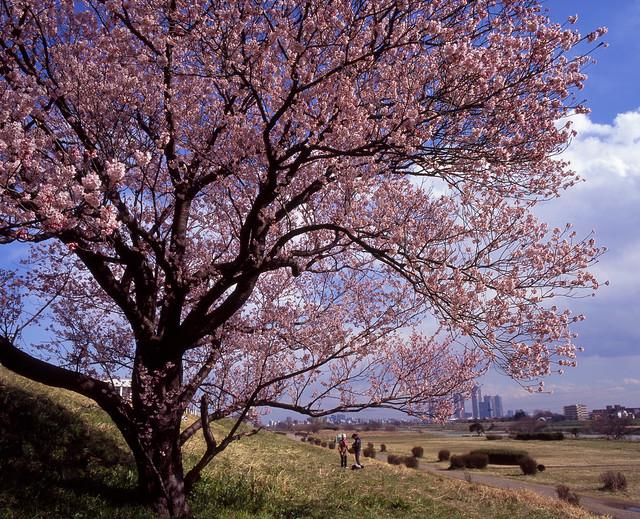 土手の春景色
