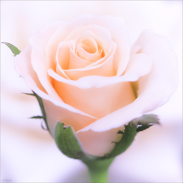 lovely rose pictures, Beautiful flower