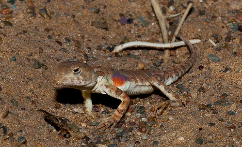 Tuva Toad-Head Agama