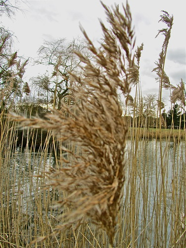 Reeds by Irene.B.