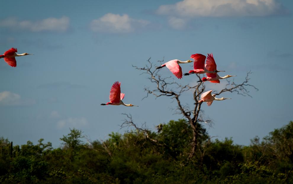 La Espátula Rosada (Platalea ajaja) es normalmente confundida con los flamencos por el tono rosa de sus plumas, cuando en realidad son especies muy distintas. Llevan este nombre por la peculiar forma de sus picos asemejando a una cuchara plana o espátula.  (Tetsu Espósito)