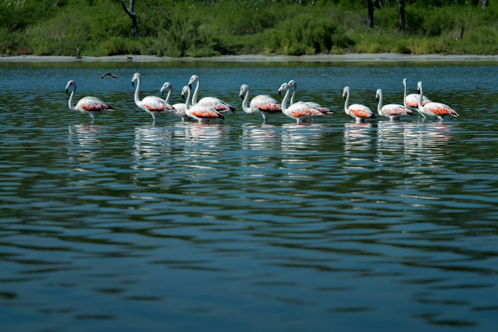El Flamenco austral (Phoenicopterus chilensis) es una de las 6 especies de flamenco que hay en el mundo. Se alimenta de microorganismos acuáticos (principalmente algas y plancton) que le proveen distintos niveles del color rosado en las plumas. (Tetsu Espósito)