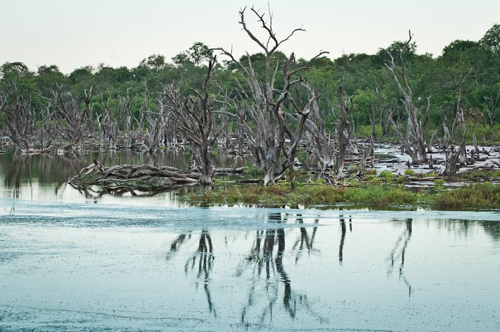 Cientos de árboles muertos pueden ser vistos en las orillas de la Laguna Capitán. Es el paisaje que ofrece la naturaleza en esta región, que revela la derrota de los árboles y plantas por falta de agua en las épocas de sequía. (Elton Núñez)
