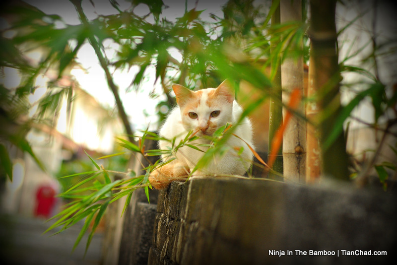 Ninja Cat in Bamboo Forest | TianChad.com