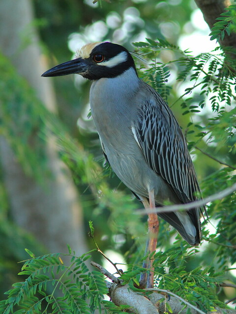 Yellow-crowned Night-Heron 2-20120221