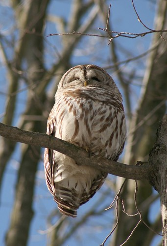 Barred Owl Guelph,On by C Law.