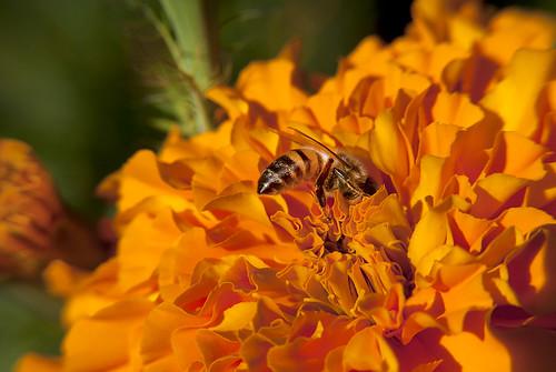 Bee - orange flower