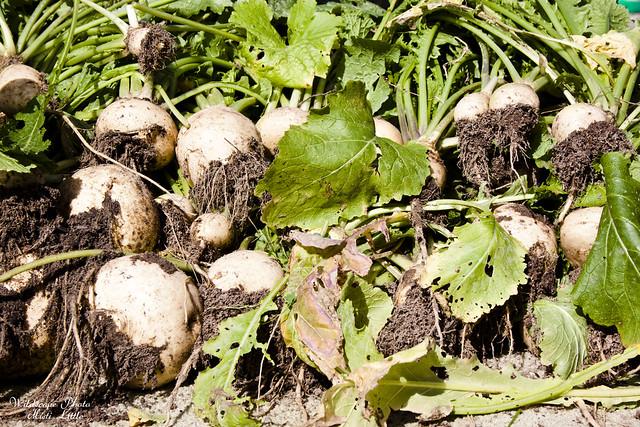 turnips6