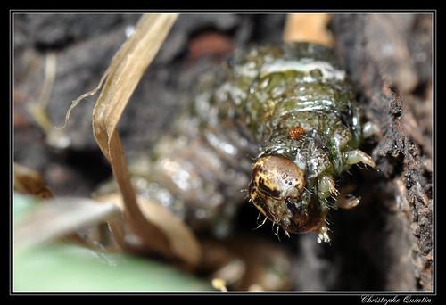 Chenille de l'Aubépinière (Allophyes oxyacanthae)