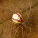 Small photo of Enoplognatha ovata. Male. Theridiidae