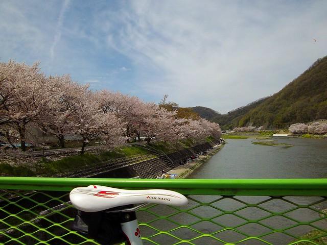 井原堤の桜 #4