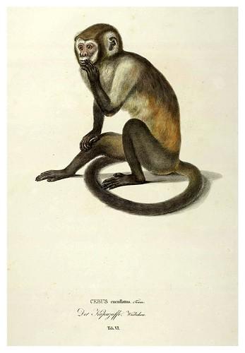 003-Simiarum et Vespertilionum Brasiliensium especies novae 1823- Baptist von Spix