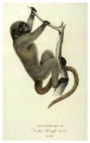 009-Simiarum et Vespertilionum Brasiliensium especies novae 1823- Baptist von Spix