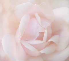 Charlie's Rose Textures