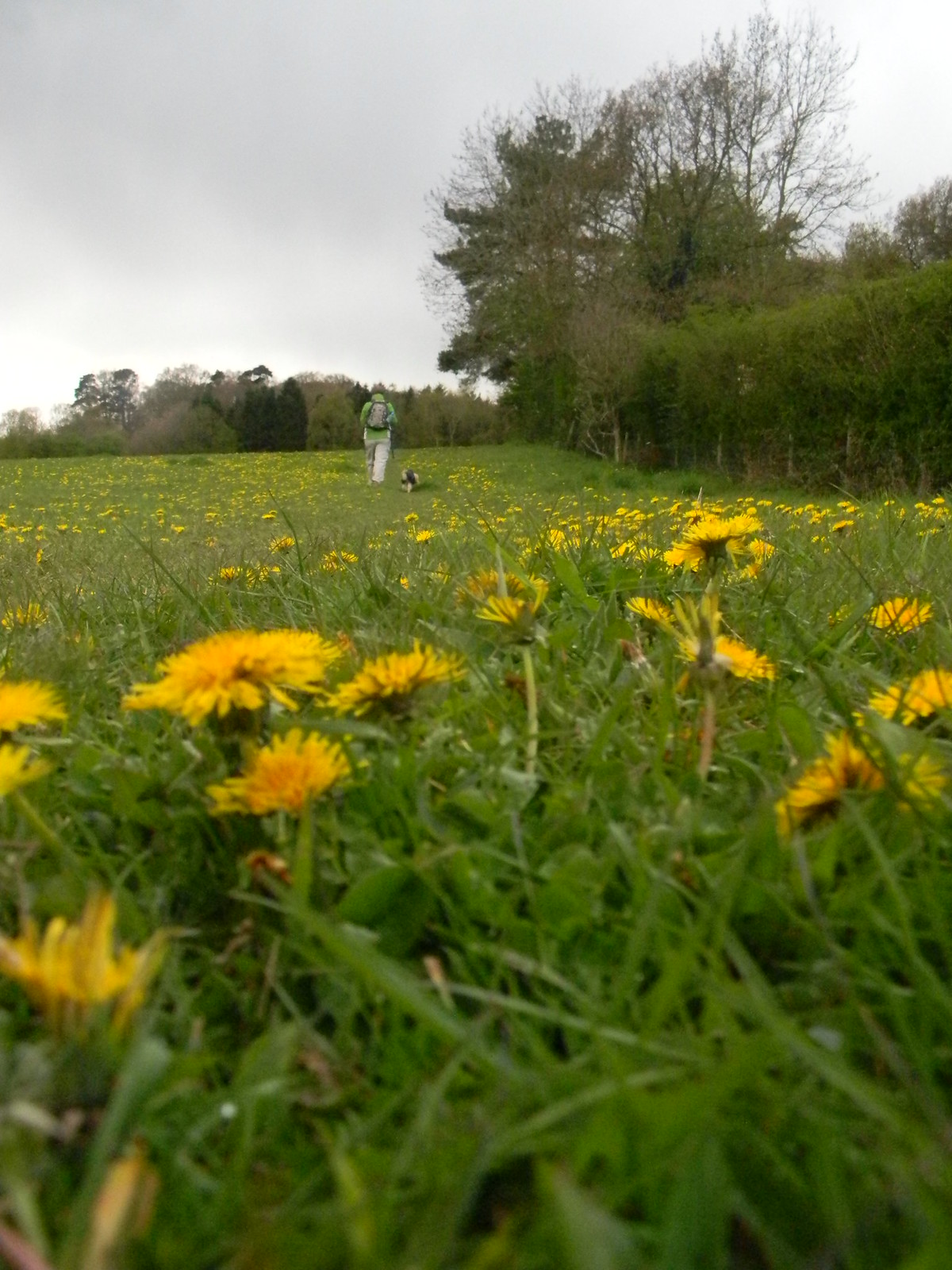 Dandelions A whole meadow-full. Pangbourne Circular