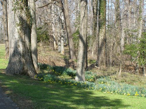 virginia daffodils stratfordhall westmorelandcountyva stratfordhallplantation stratfordva