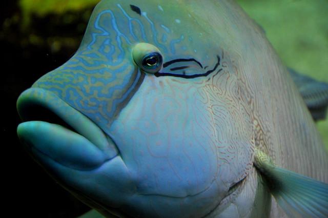 Big Blue Fish Flickr Photo Sharing