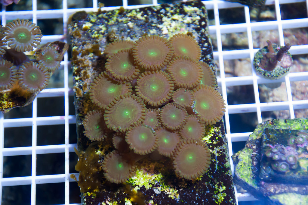 6971265332 9e42f53c94 b - Corals For Sale --- OHIO